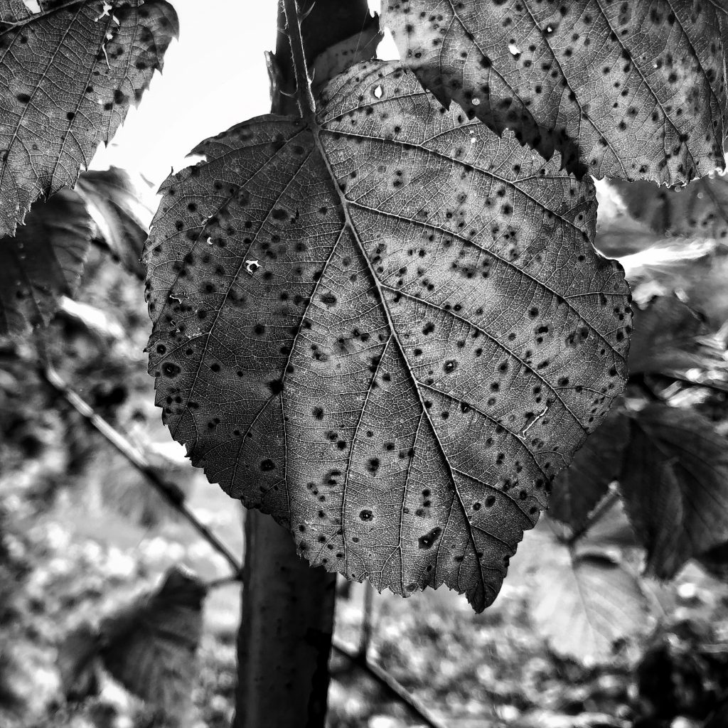 Photograph of spotted leaf