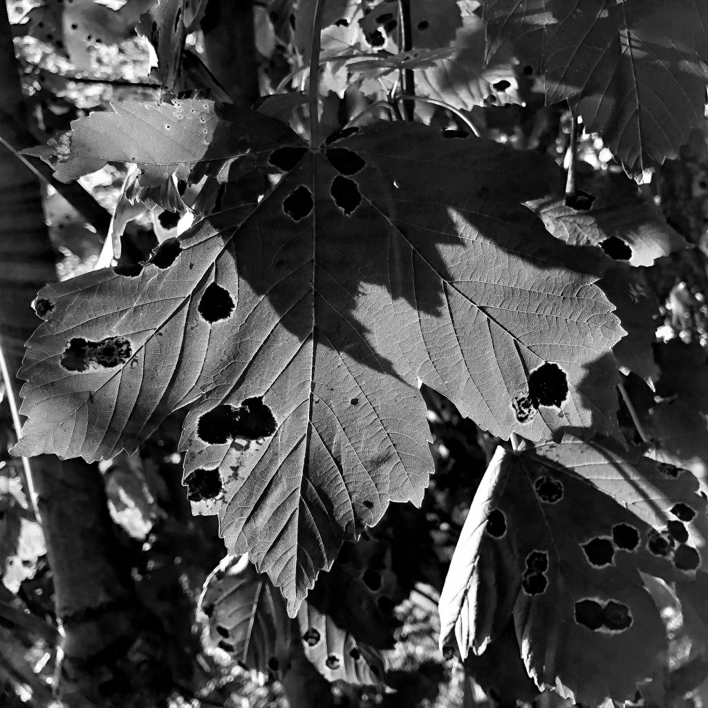 Photograph of leaf with holes