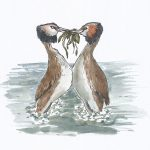 Watercolour drawing of two grebes on water