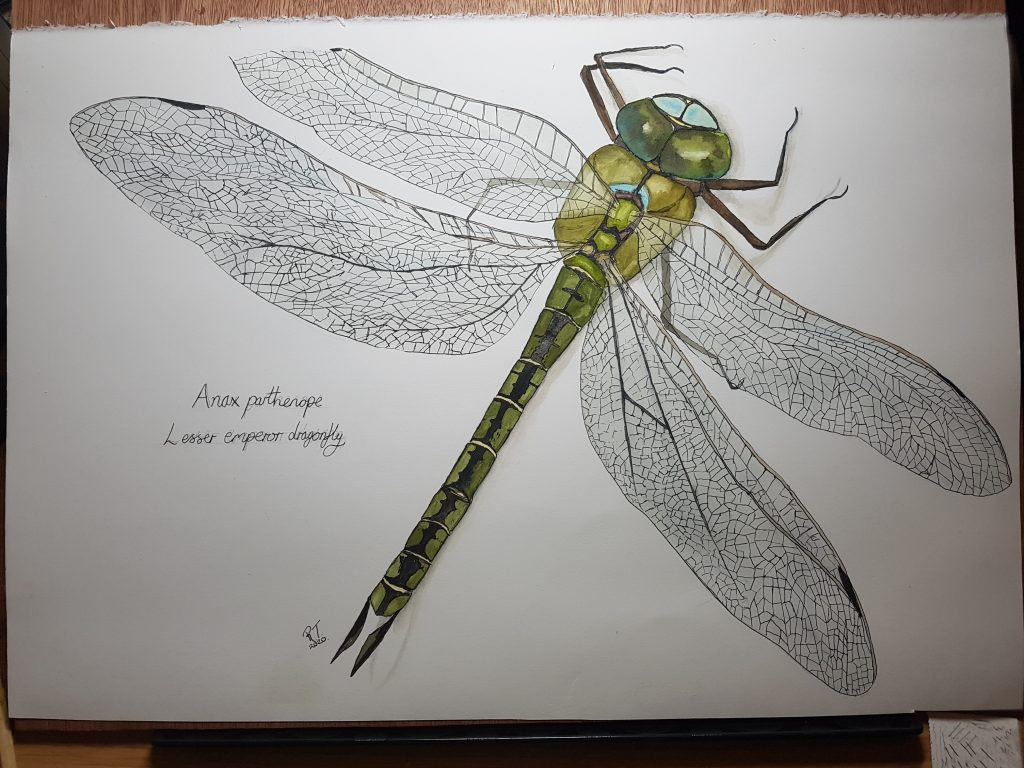 Detailed ink and watercolour drawing of dragonfly